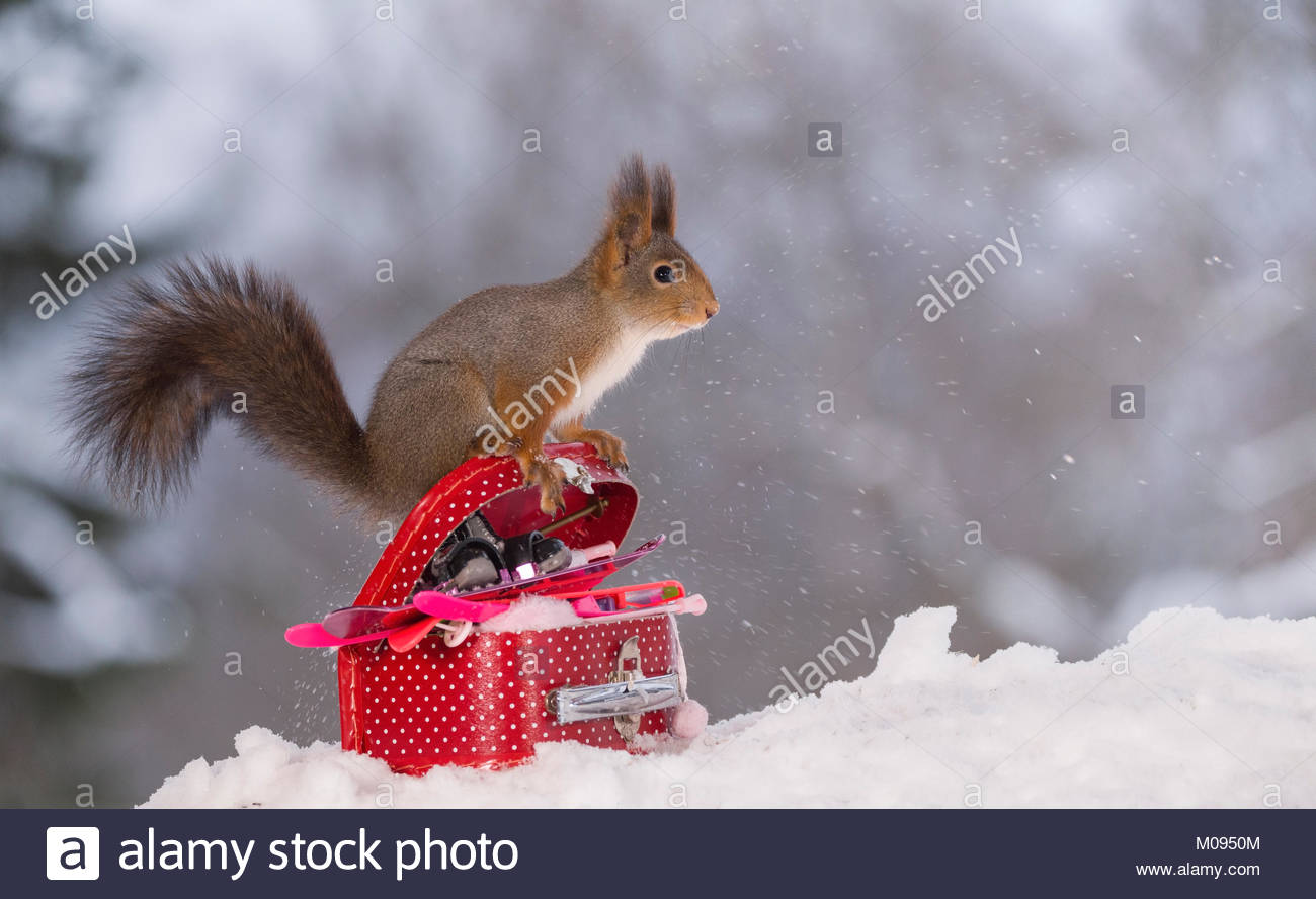 red squirrel on a suitcase with winter sport articles - Stock Image