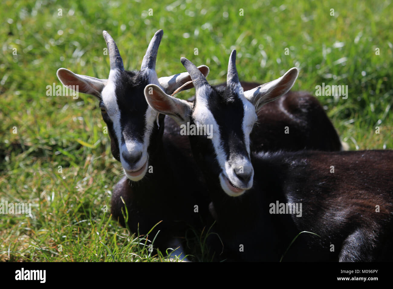 two young identical goats sitting in a green field, cape clear, wild atlantic way, county cork, ireland - Stock Image