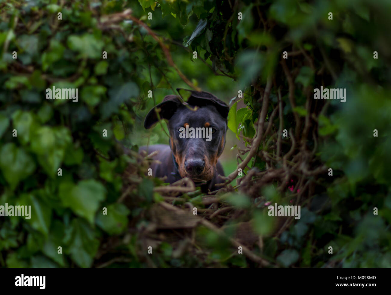Rocco the Friendly Doberman - Stock Image