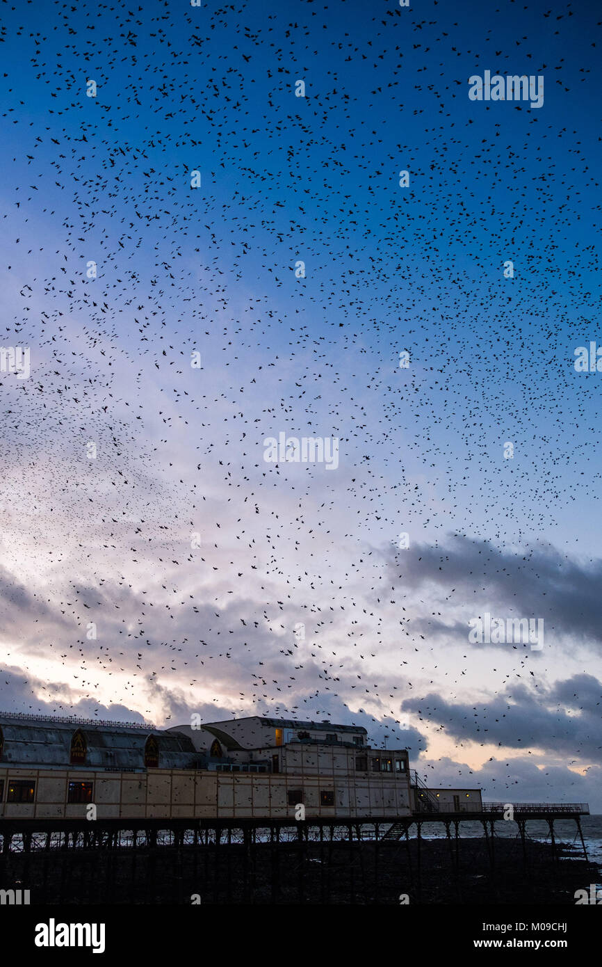 Aberystwyth Wales UK, Friday 19 January 2018 UK Weather: Great swarms of tens of thousands of tiny starlings fill - Stock Image