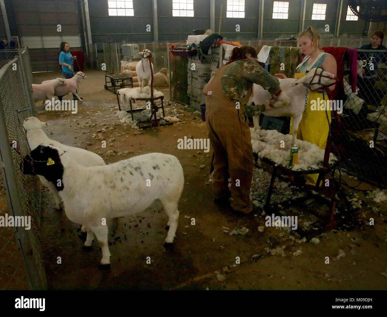 Fort Worth, USA. 19th Jan, 2018. Getting the sheep to impress the judges. Celebrating the 100th anniversary of the - Stock Image