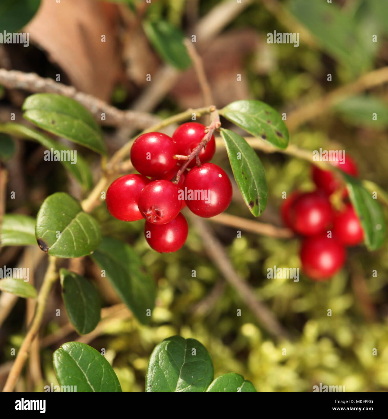 The Forest cranberries in nature - Stock Image