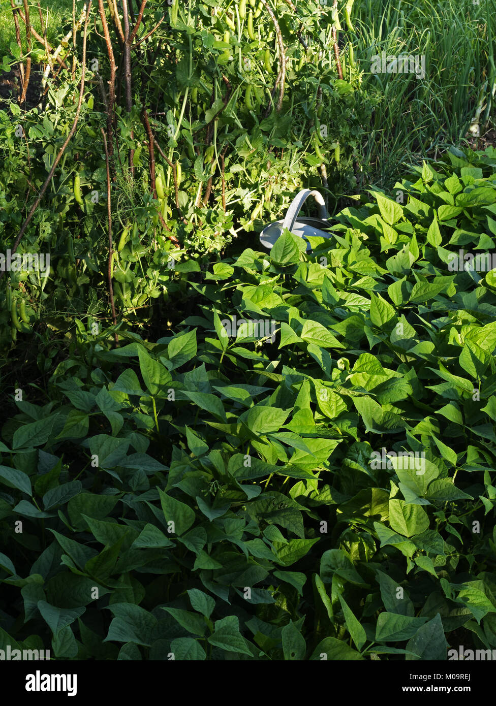 Vegetable garden in june, bed of green bean and peas (Suzanne's vegetable garden, Le Pas, Mayenne, France). - Stock Image