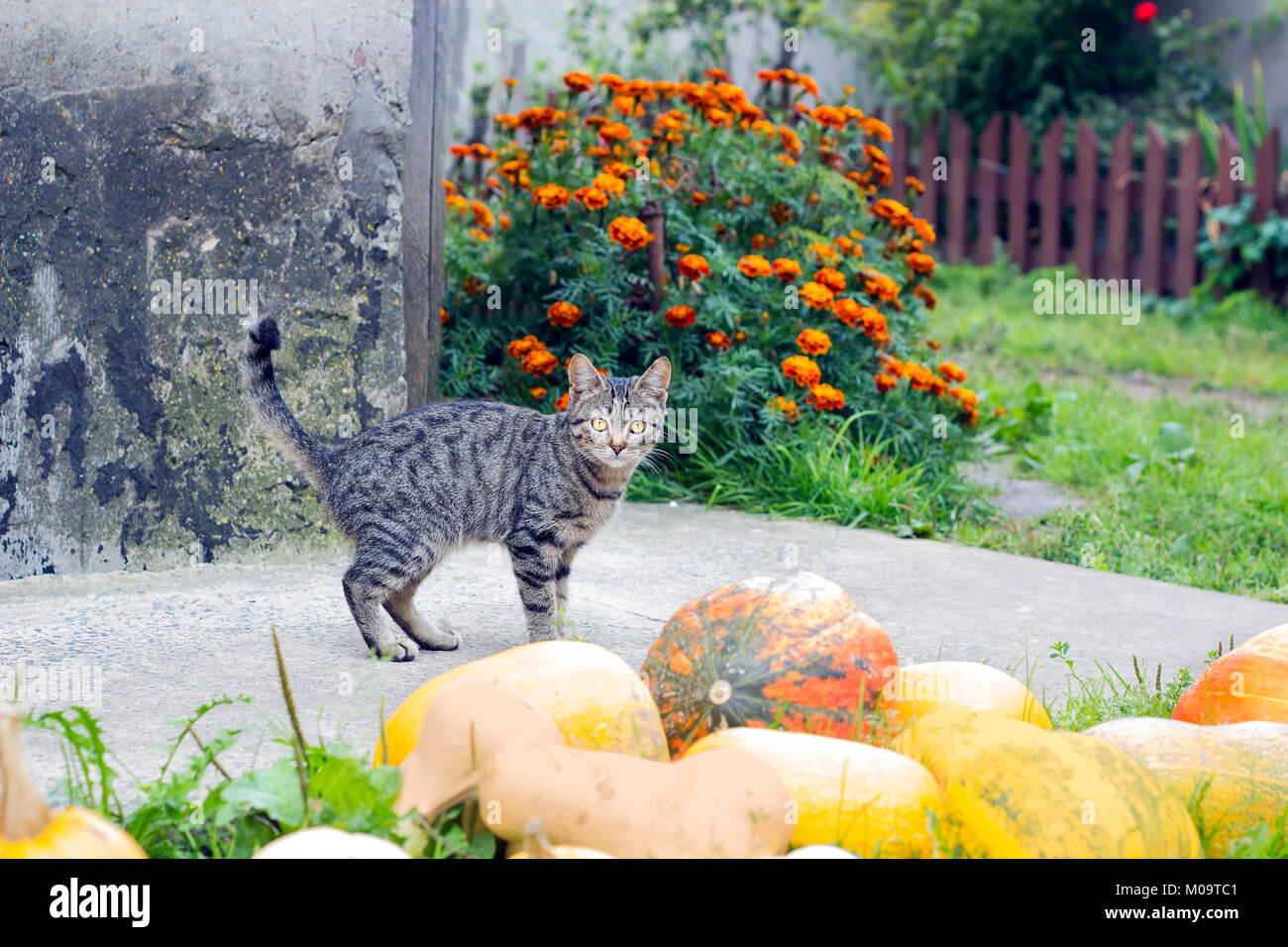 Tabby cat stands near harvest of pumpkins in yard - Stock Image