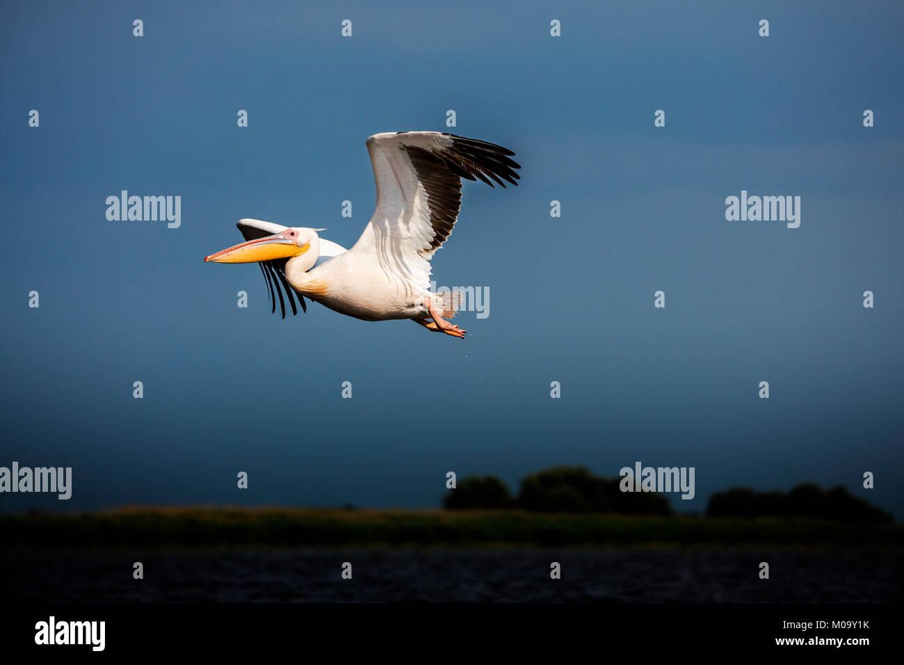 A flying pelican in the danube delta in Romania. Stock Photo