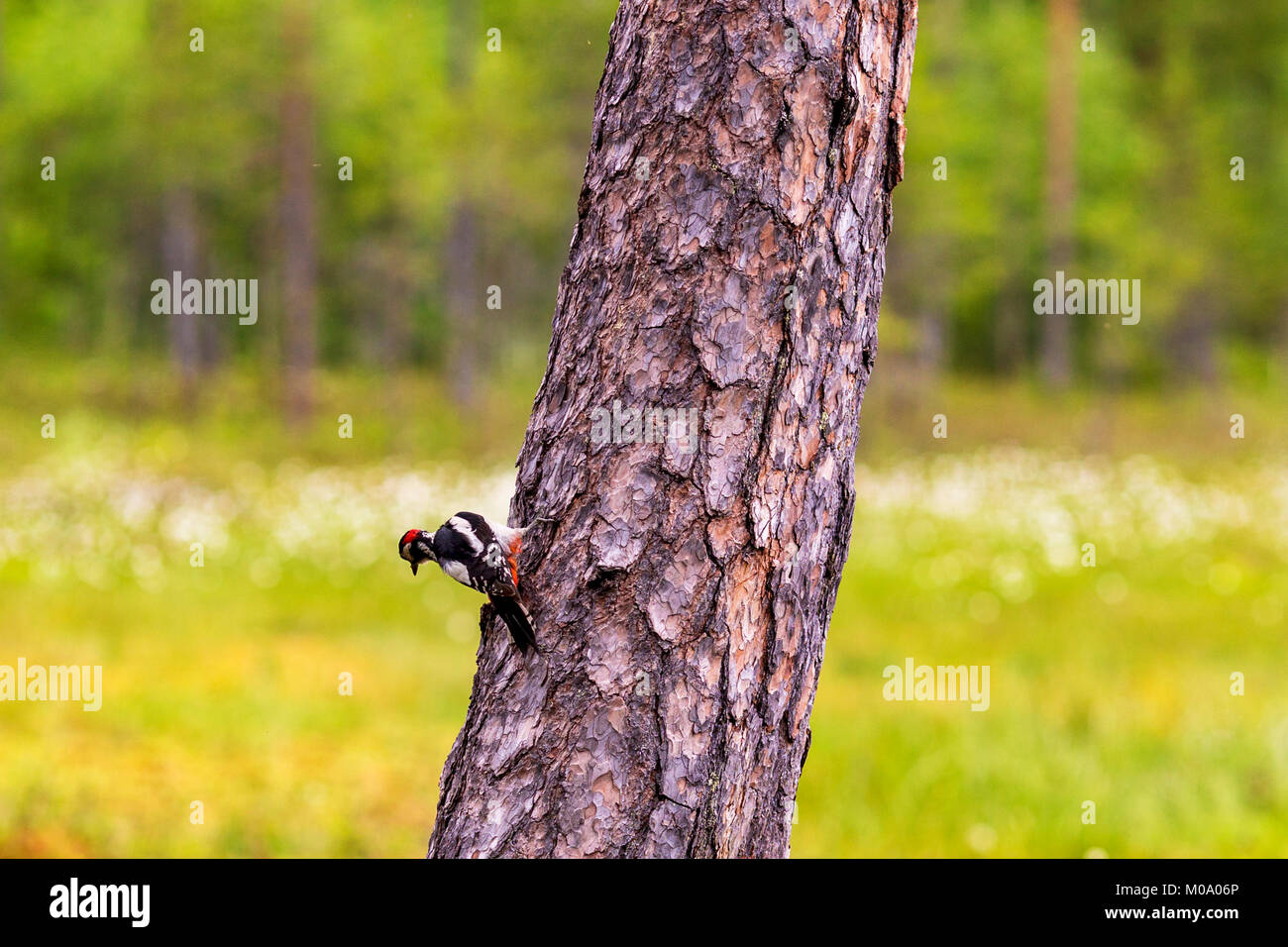 A woodpecker at a tree trunk. - Stock Image