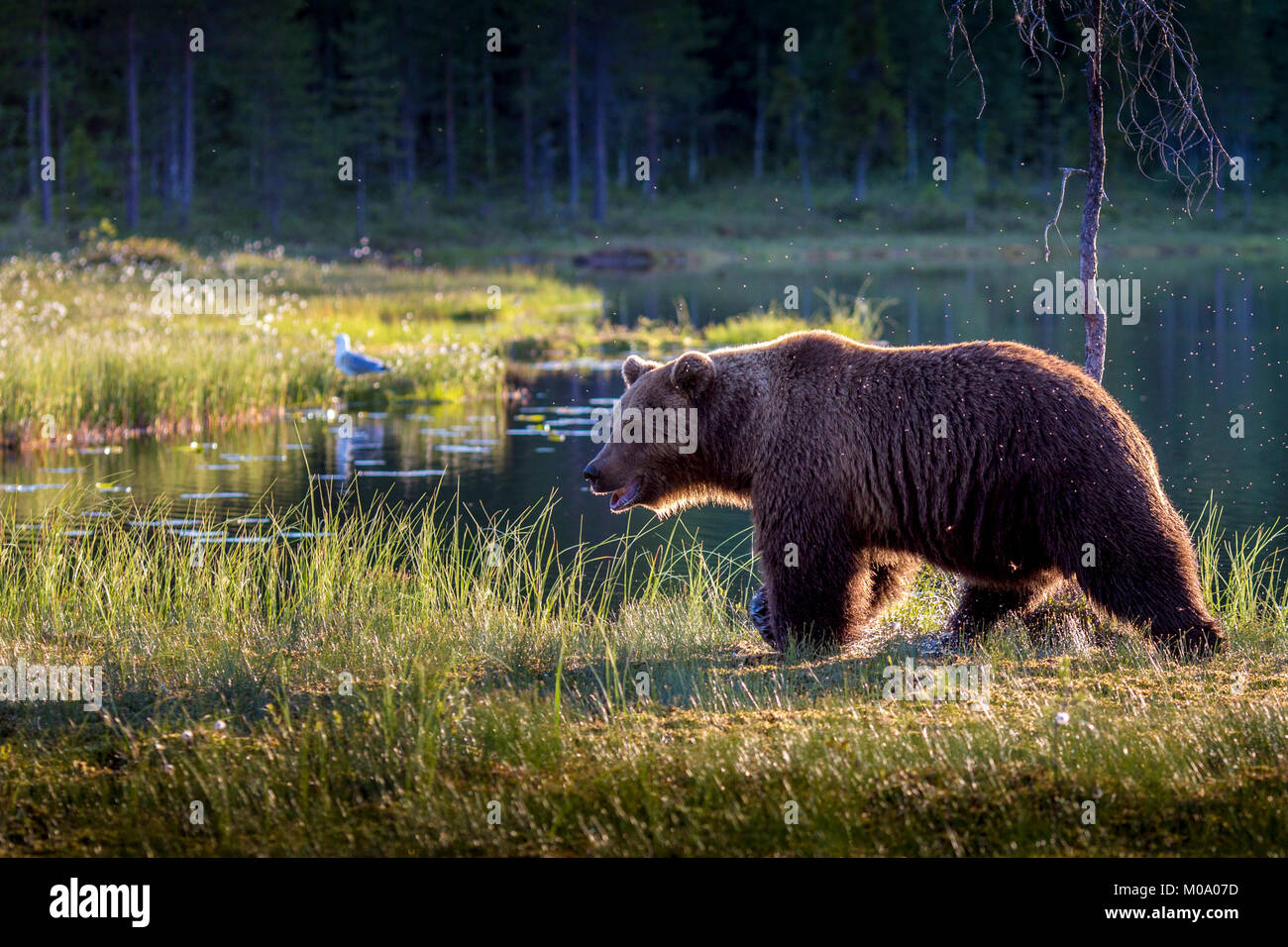 A wild male brown bear in Finland. - Stock Image