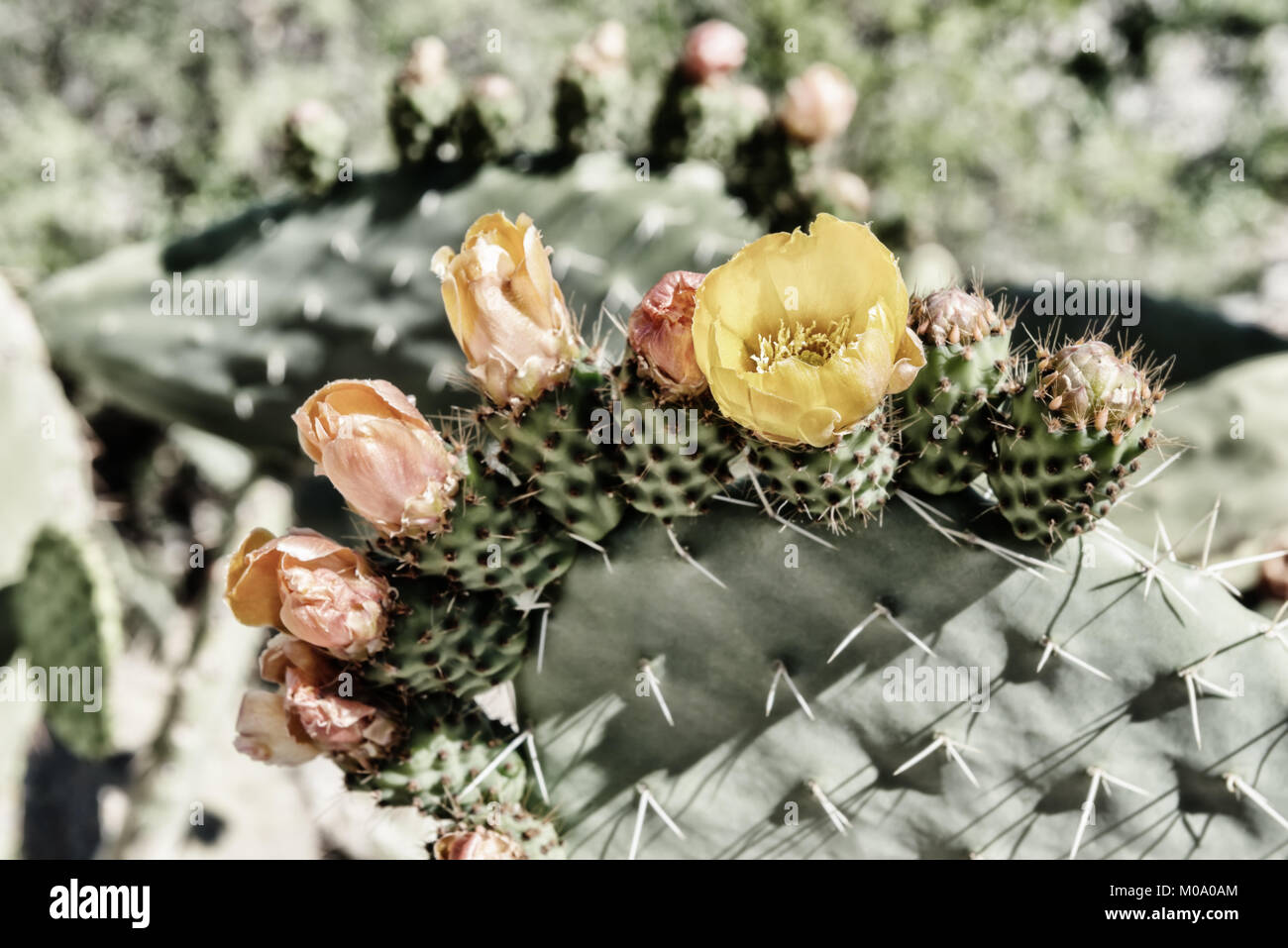 Prickly pear cactus with orange and yellow flower blossoms. Vintage, high key, high contrast image with muted colours. - Stock Image