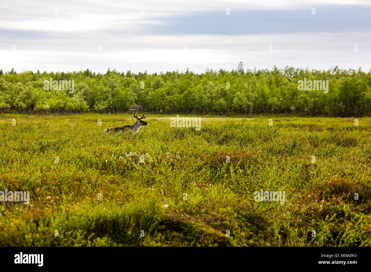 A reindeer in Lapland, Finland. Stock Photo