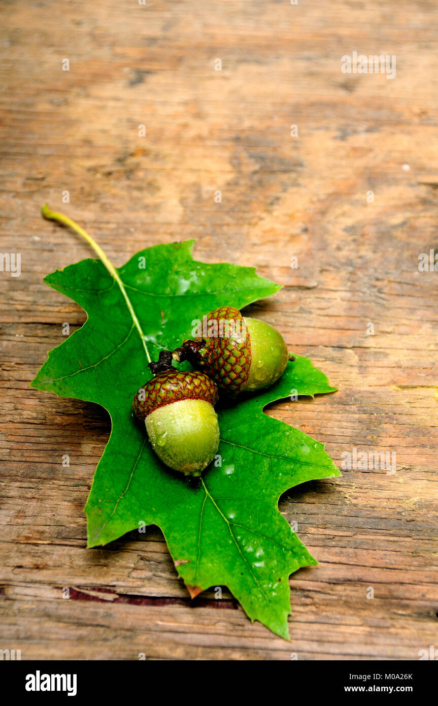 Oak leaf and fruit of acorn on a wood surface Stock Photo