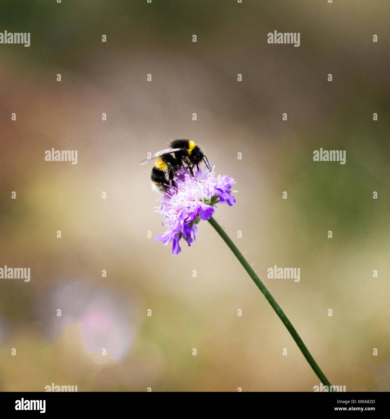 Buff tailed bumblebee feeds on giant scabious flower, London, UK - Stock Image