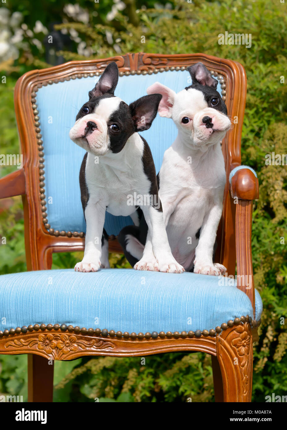 Two young Boston Terrier dogs, also called Boston Bulls, puppies, black with white markings, sitting side by side - Stock Image