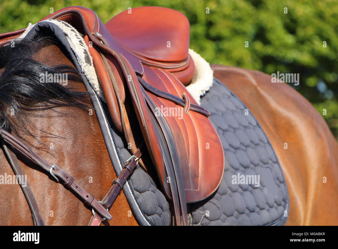 Brown Saddle With Blue Pad On A Bay Horse Stock Photo Alamy
