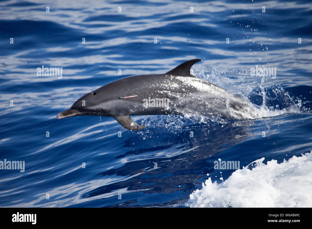 Leaping Dolphin - Stock Image