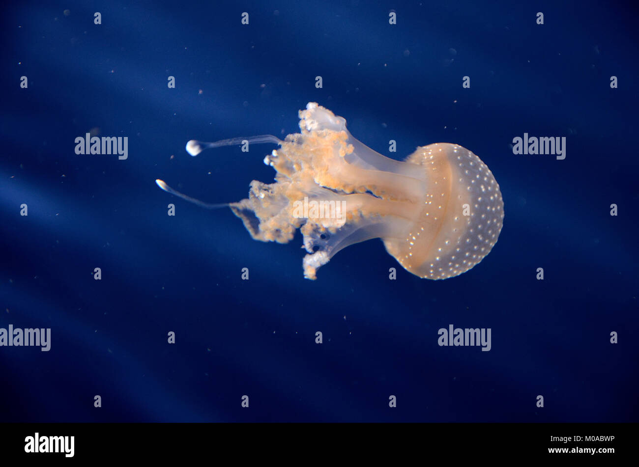 A Jellyfish in the aquarium, the light of the fishbowl makes the jellyfish look orange. Stock Photo