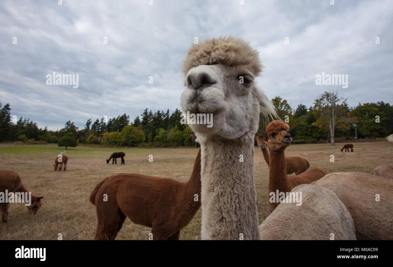 Pet Alpaca - Stock Image