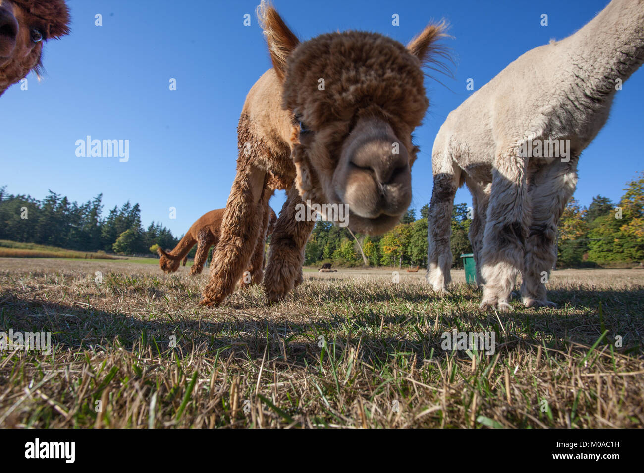 Looking up at cute Alpacas - Stock Image