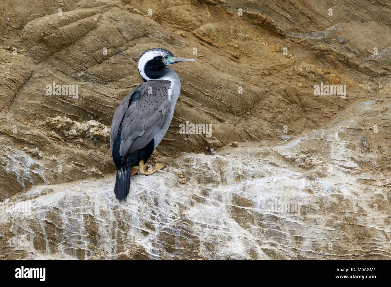Spotted Shag, Phalacrocorax punctatus, at breeding cliff - Stock Image