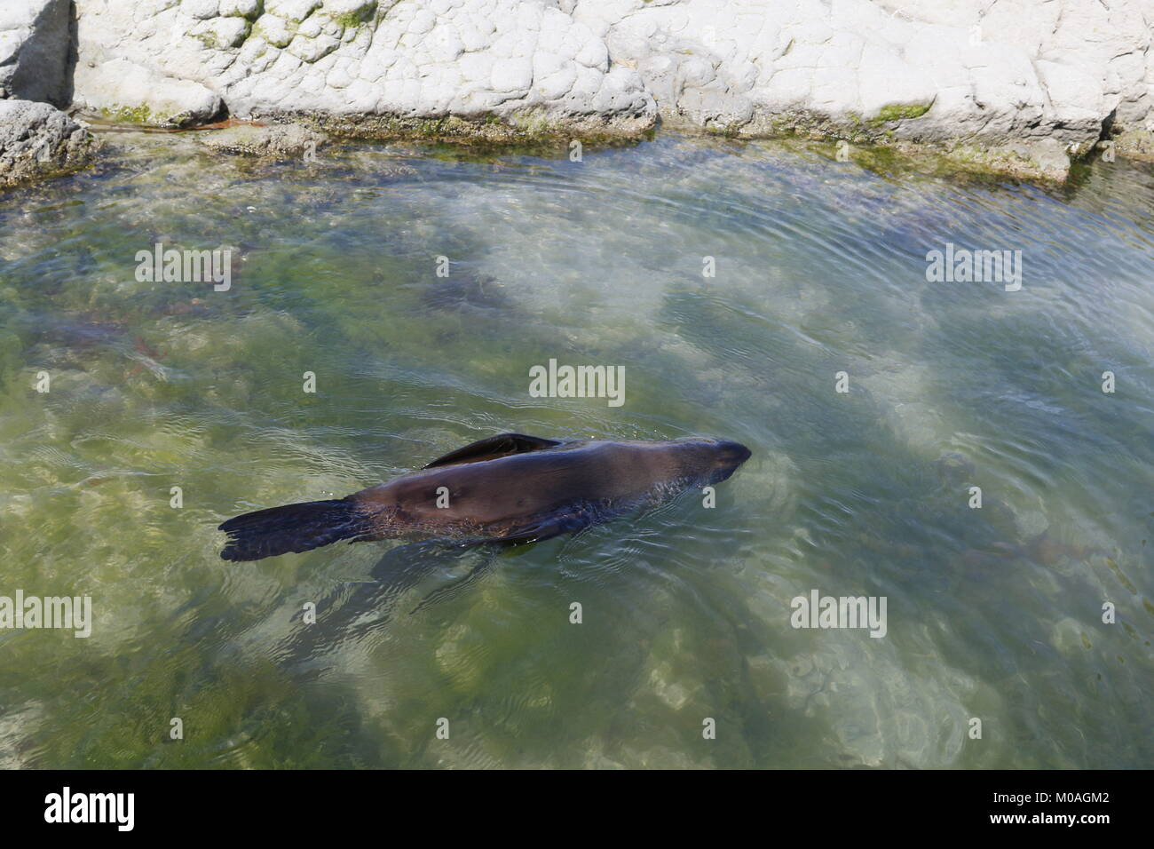 Australasian Fur Sea (New Zealand Fur Seal)l, Arctocephalus forsteri, swimming upside down at Kaikoura - Stock Image