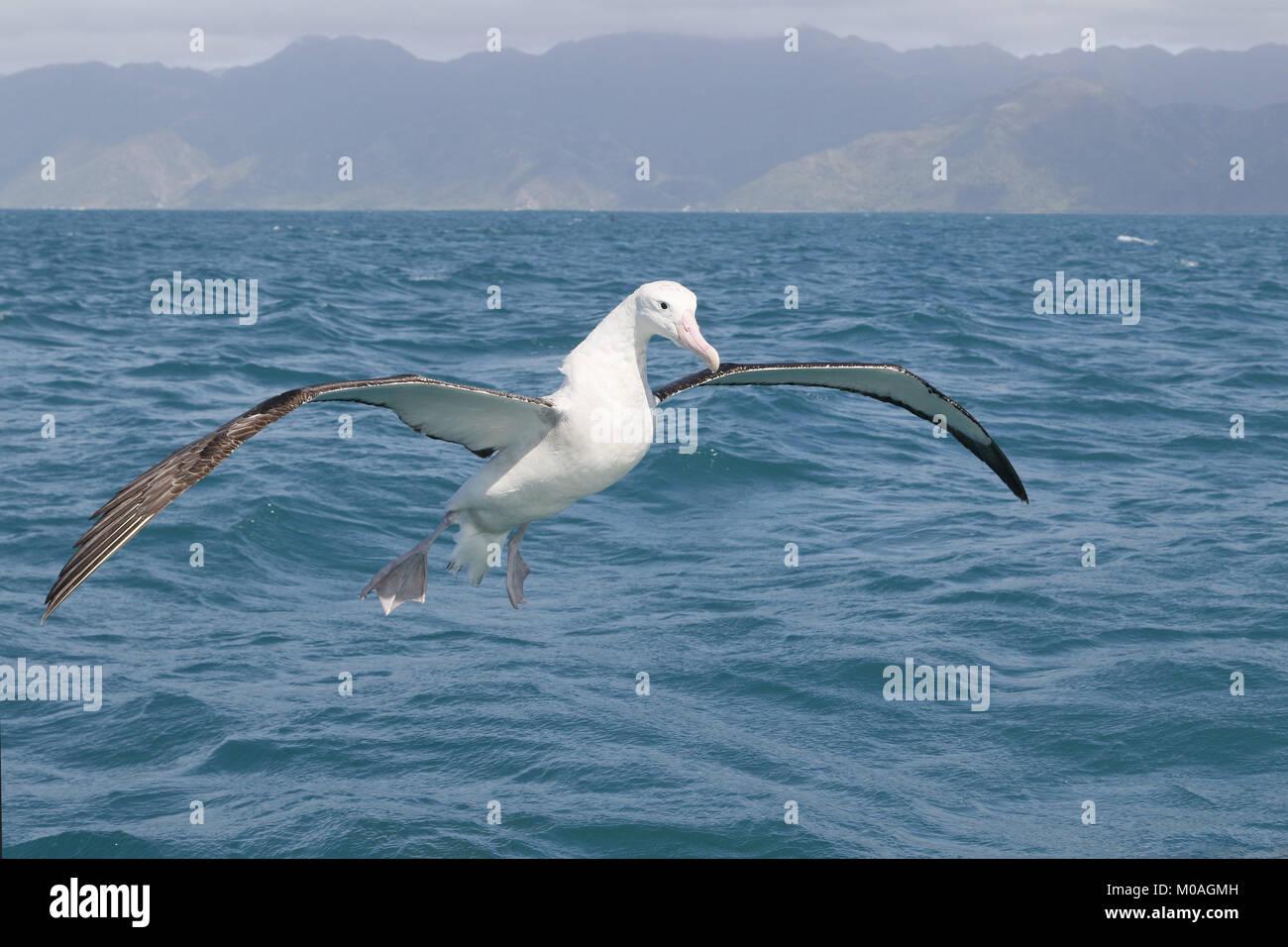 Wandering Albatross, Diomedea exulans, in flight at Kaikoura - Stock Image