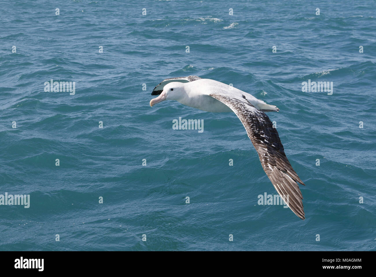 Wingspan Of The Wandering Albatross Stock Photos Wingspan Of The