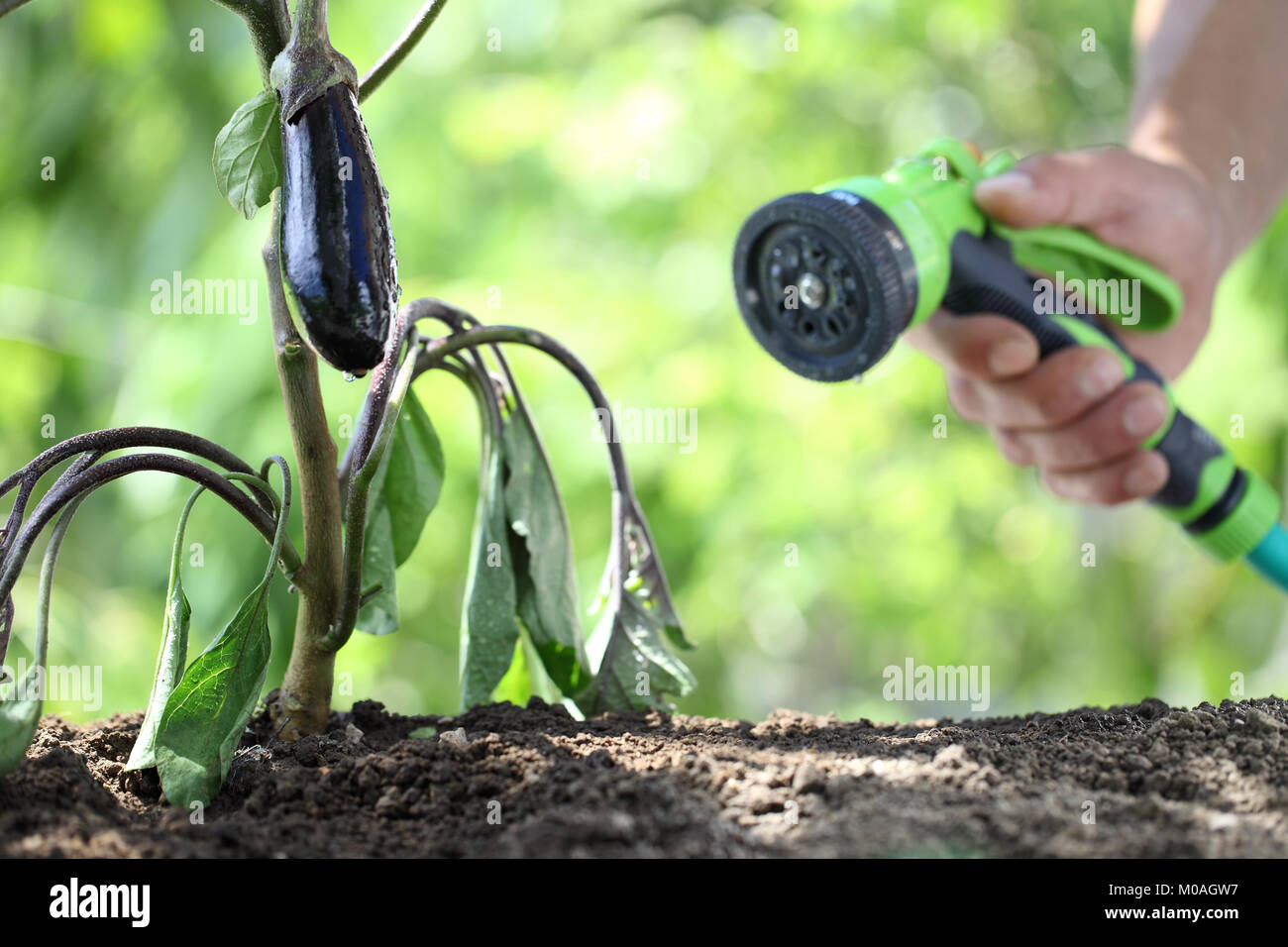 hand watering plants. eggplant in vegetable garden. close up - Stock Image