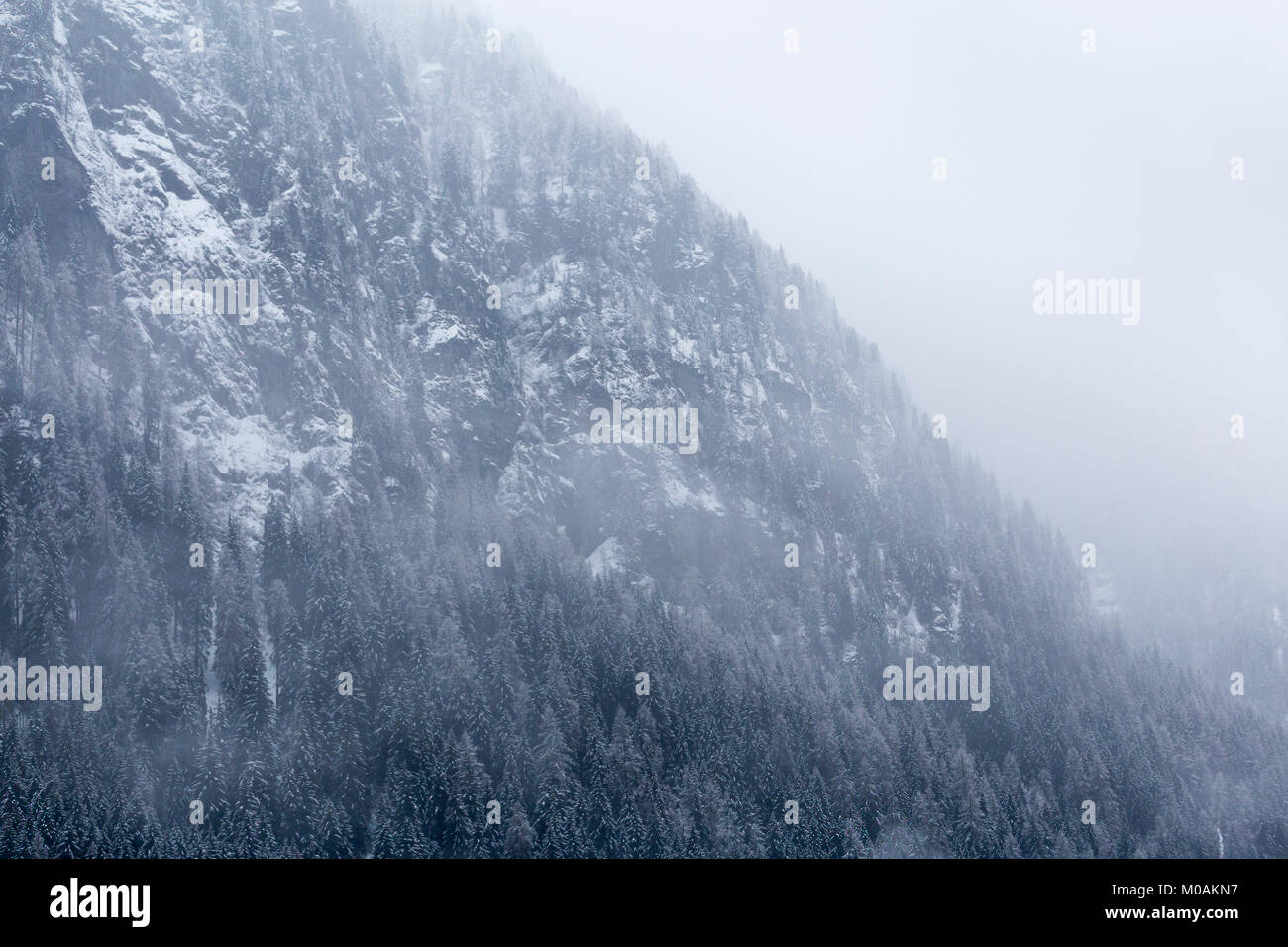 Foggy view of the side of the mountain with snow and snow-tipped conifers clinging to the steep slope. - Stock Image