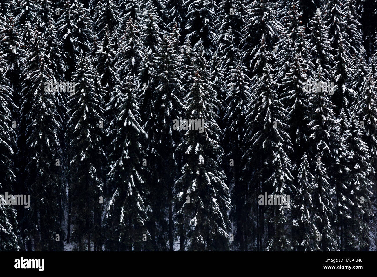 Misty view of snow-covered conifers on the side of the mountain. - Stock Image