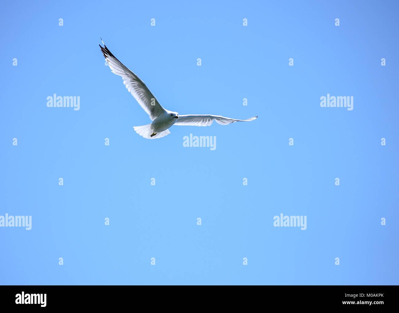 White Bird Soaring - Stock Image