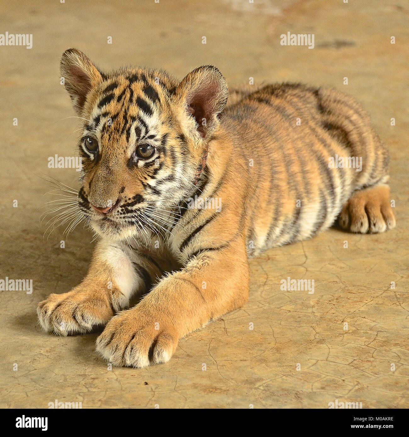 Zoo Animal Cute Tiger Cub Bengal Tiger High Resolution Stock Photography And Images Alamy