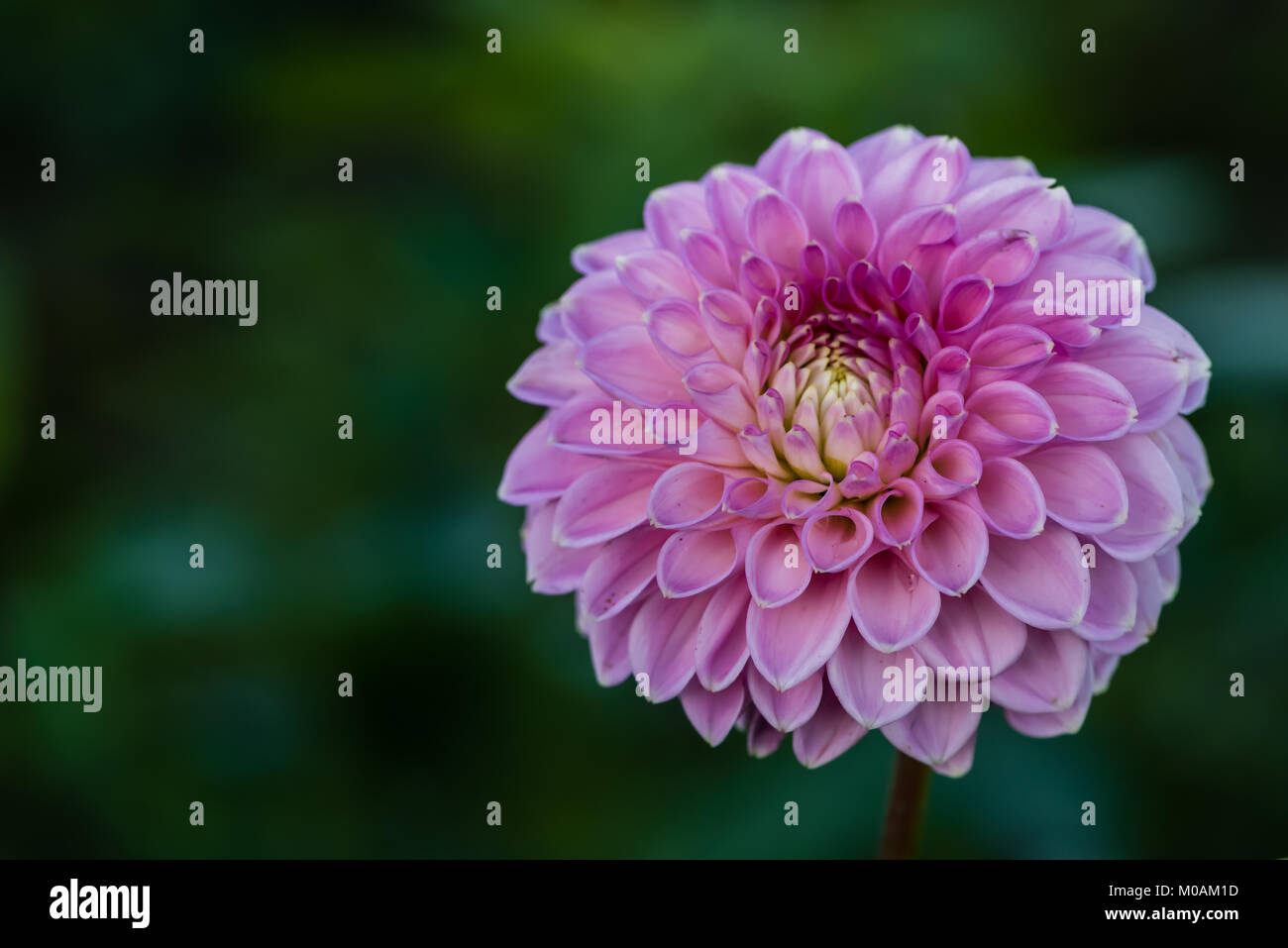 Dahlia 'Barbarry Bluebird' a ball dahlias (Ba)— Double blooms that are ball shaped or slightly flattened. - Stock Image