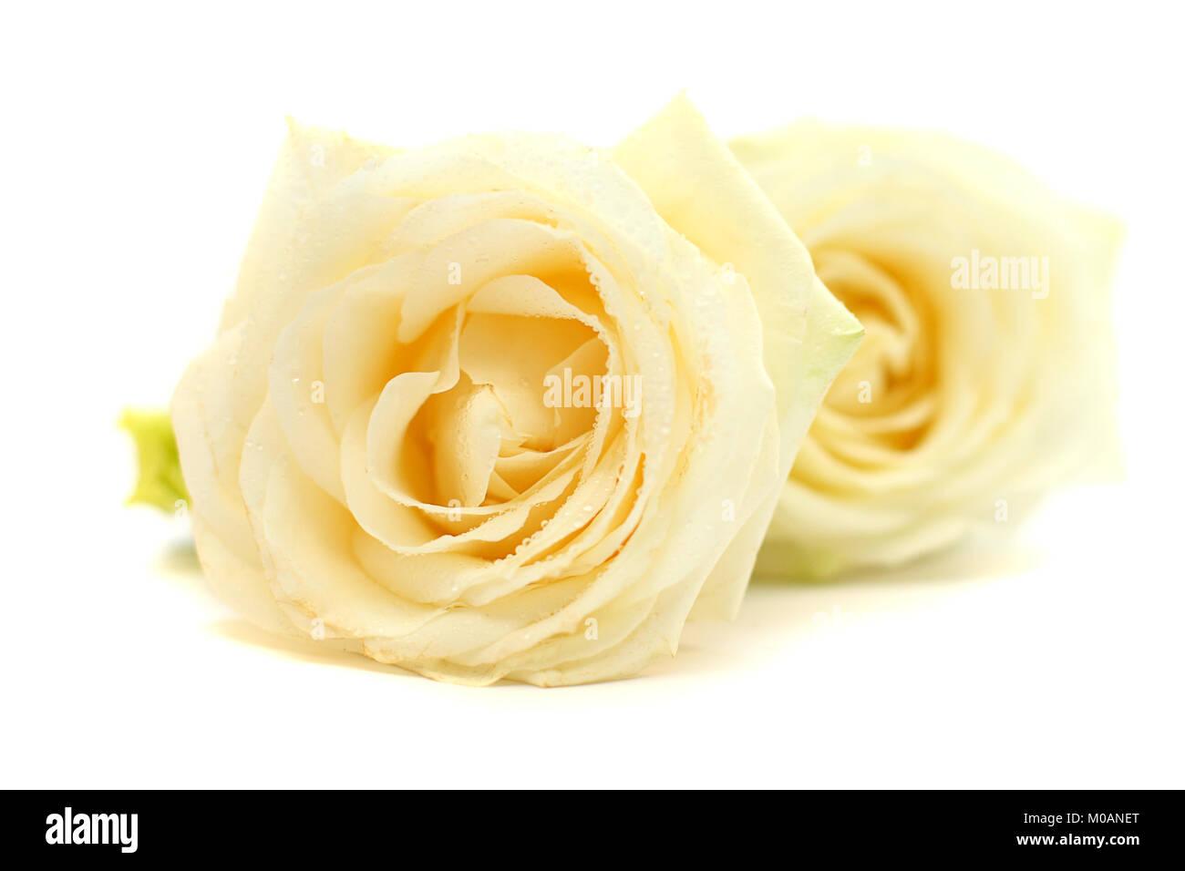 Rose flower closeup on white Stock Photo
