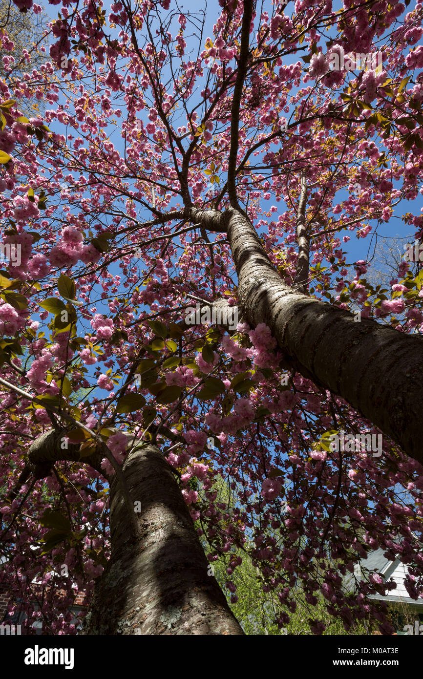 Flowering cherry tree beautiful flowers spring season close-up looking up perspective blue sky background Asheville - Stock Image