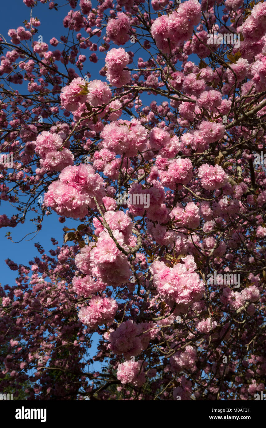 Cherry tree flowers close-up beautiful pink double blooms blue sky background spring season floral display Asheville - Stock Image