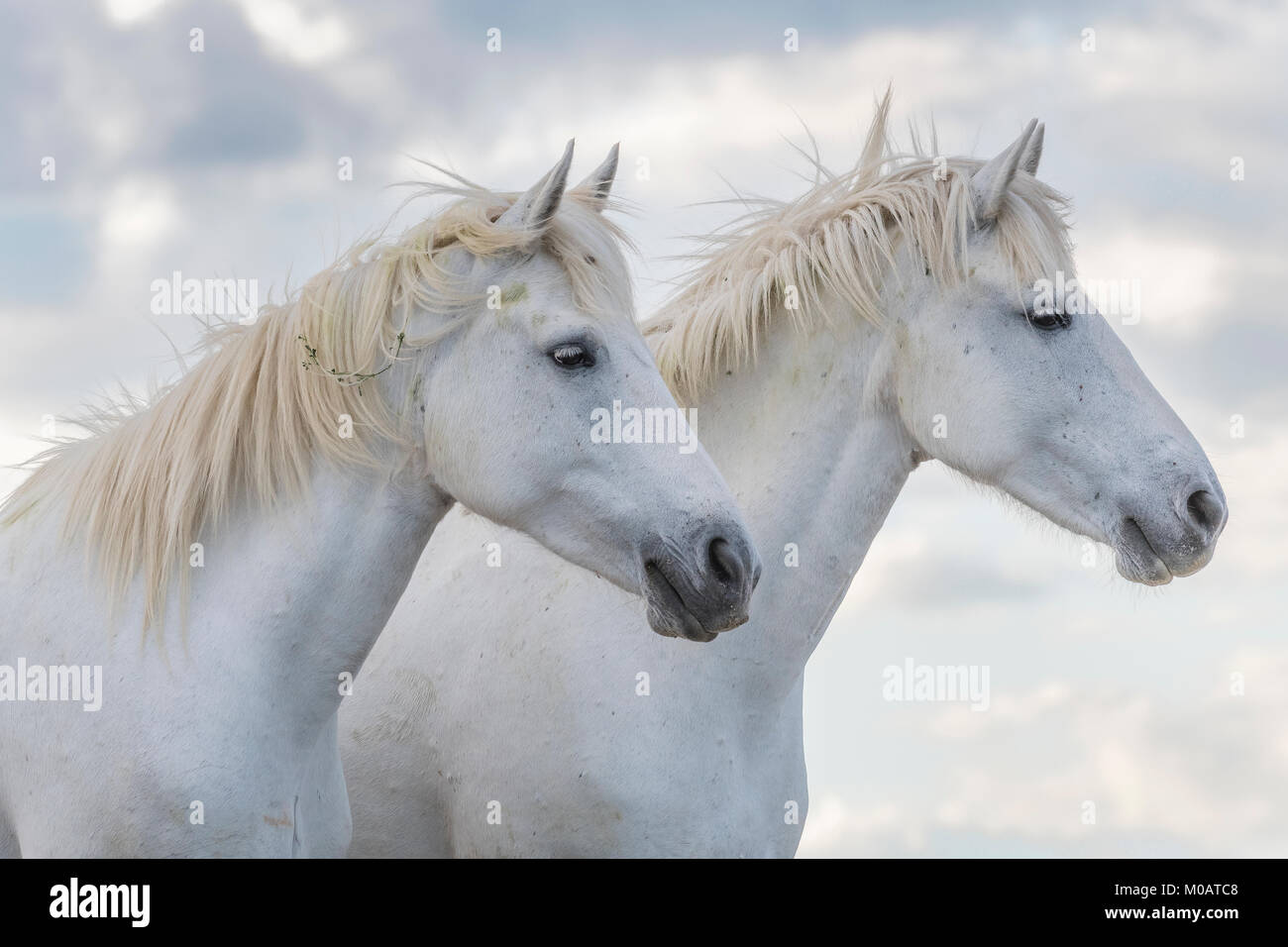 Camargue horses sparring near Saintes Maries de la Mer, France. Early May,by Dominique Braud/Dembinsky Photo Assoc - Stock Image