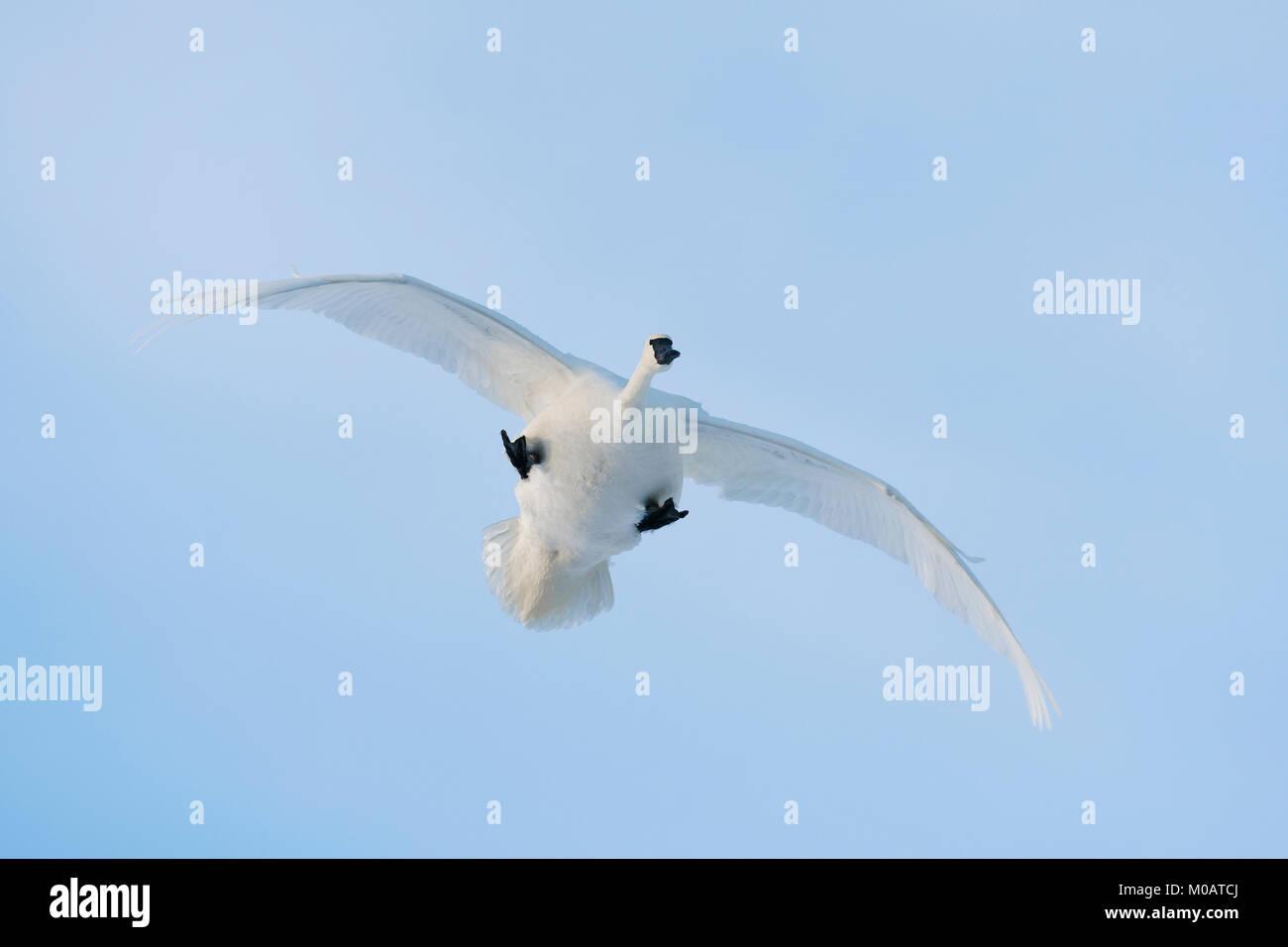 Trumpeter swans (Cygnus buccinator), USA, by Dominique Braud/Dembinsky Photo Assoc - Stock Image