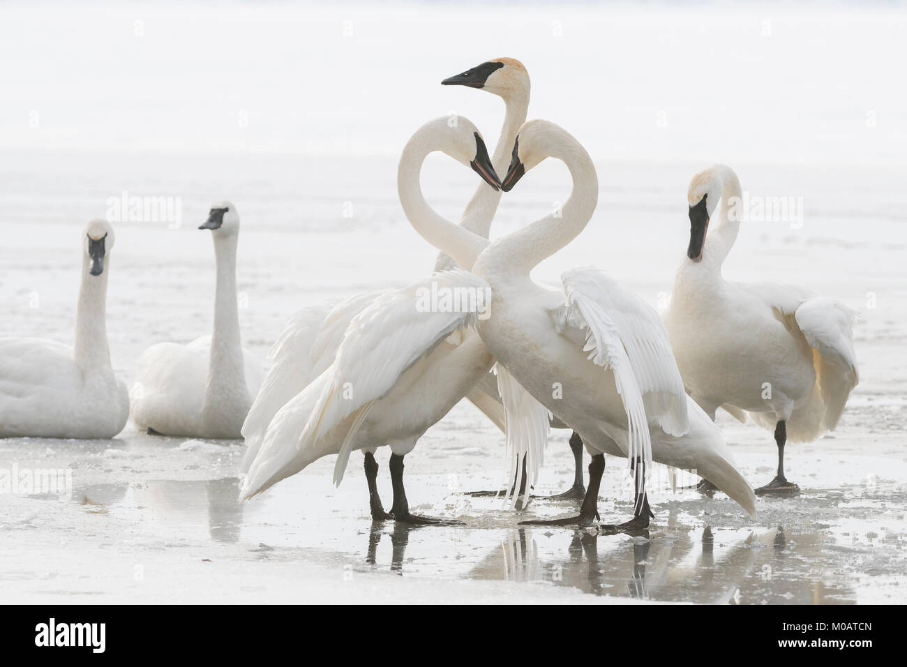 Trumpeter swans (Cygnus buccinator), St. Croix River between Minnesota & Wisconsin. Hudson, WI, USA, by Dominique Stock Photo