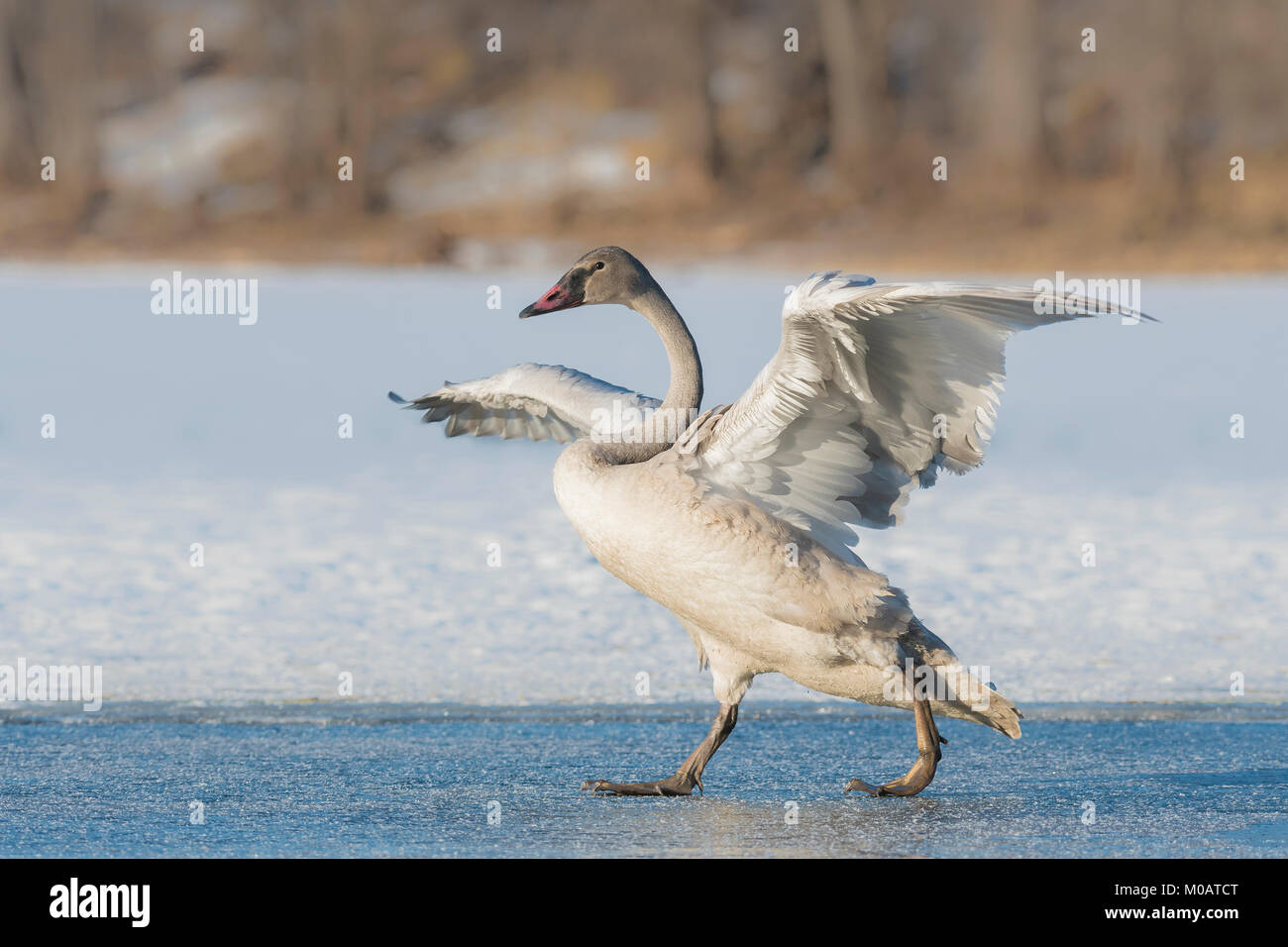 Immature trumpeter swan (Cygnus buccinator), St. Croix River near Hudson, Wisconsin. Late December, by Dominique - Stock Image