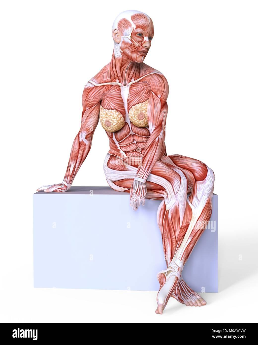 Female Body Muscles Illustration On Stock Photos & Female Body ...