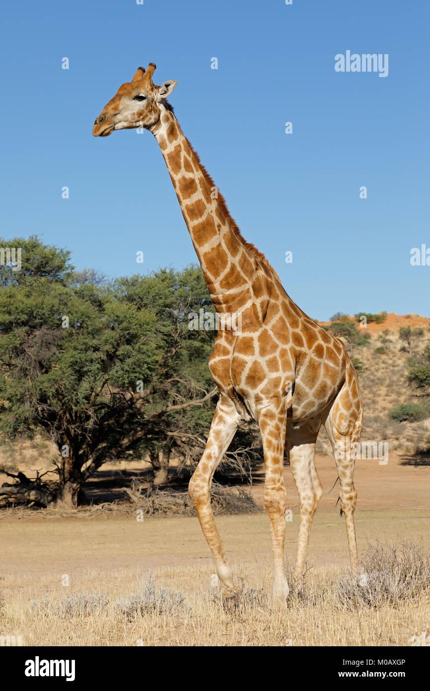 A giraffe (Giraffa camelopardalis) in natural habitat, Kalahari desert, South Africa - Stock Image