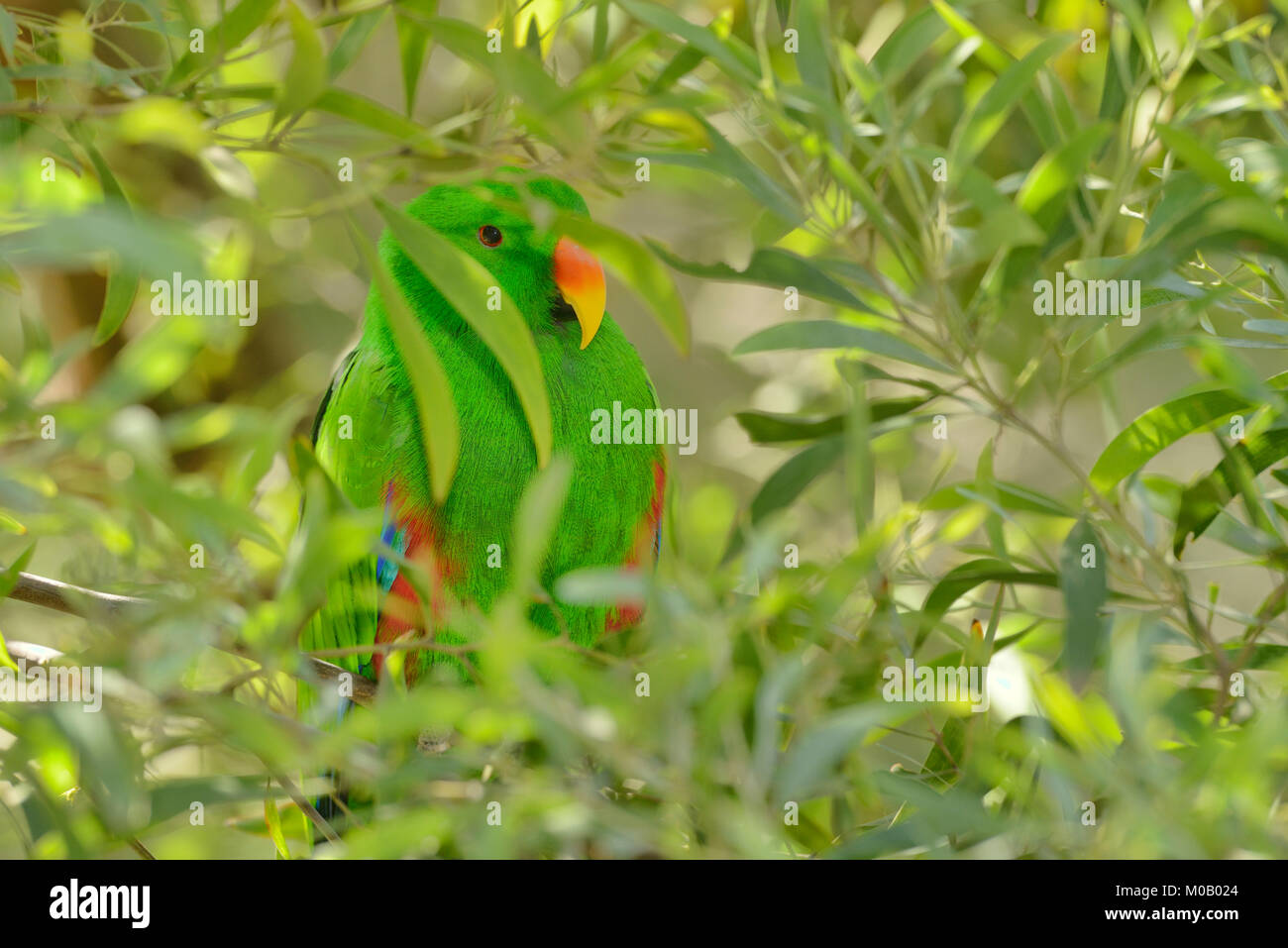 Eclectus Parrot Eclectus roratus Male Captive Stock Photo