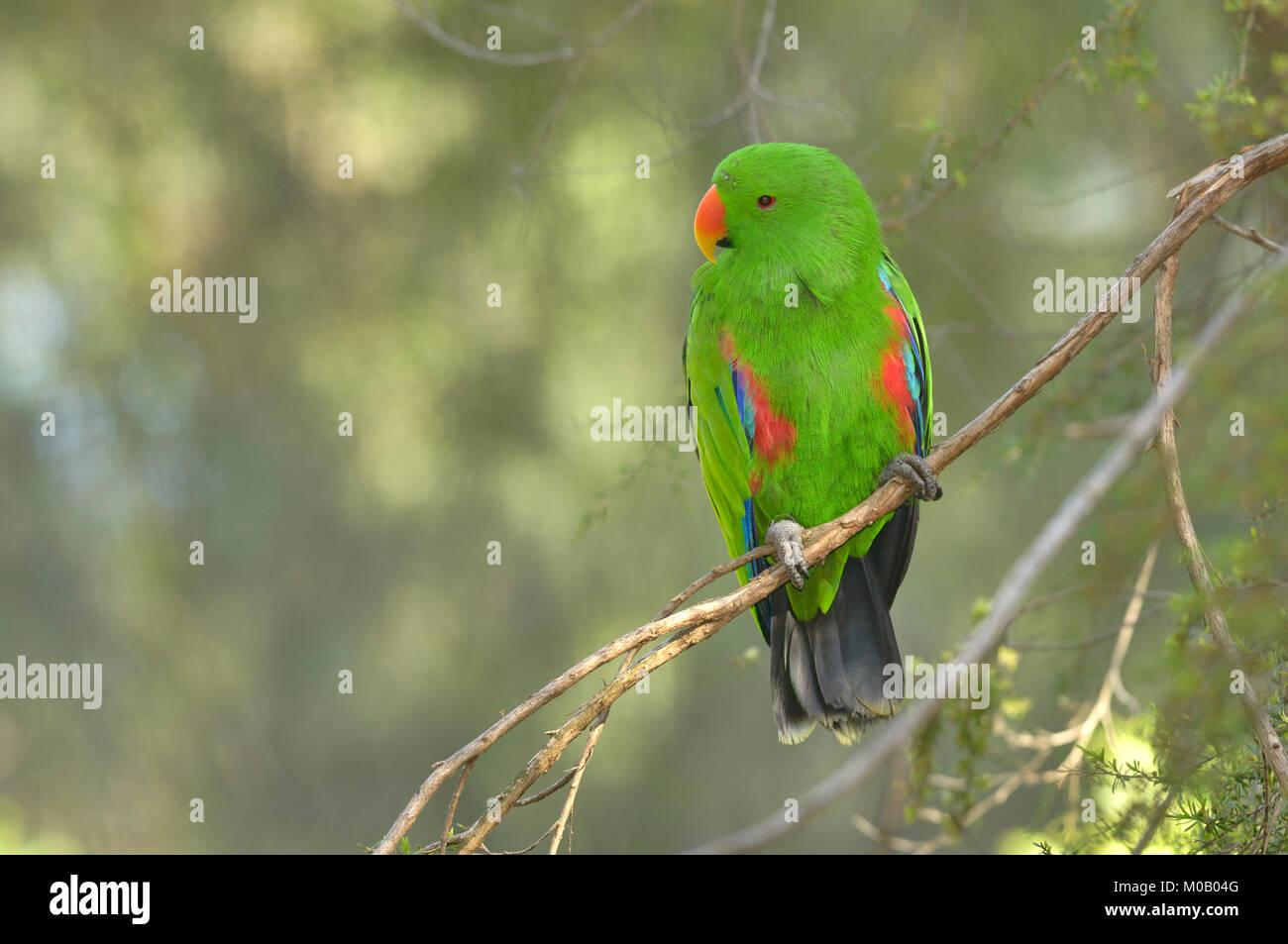 Eclectus Parrot Eclectus roratus Male Captive Stock Photo