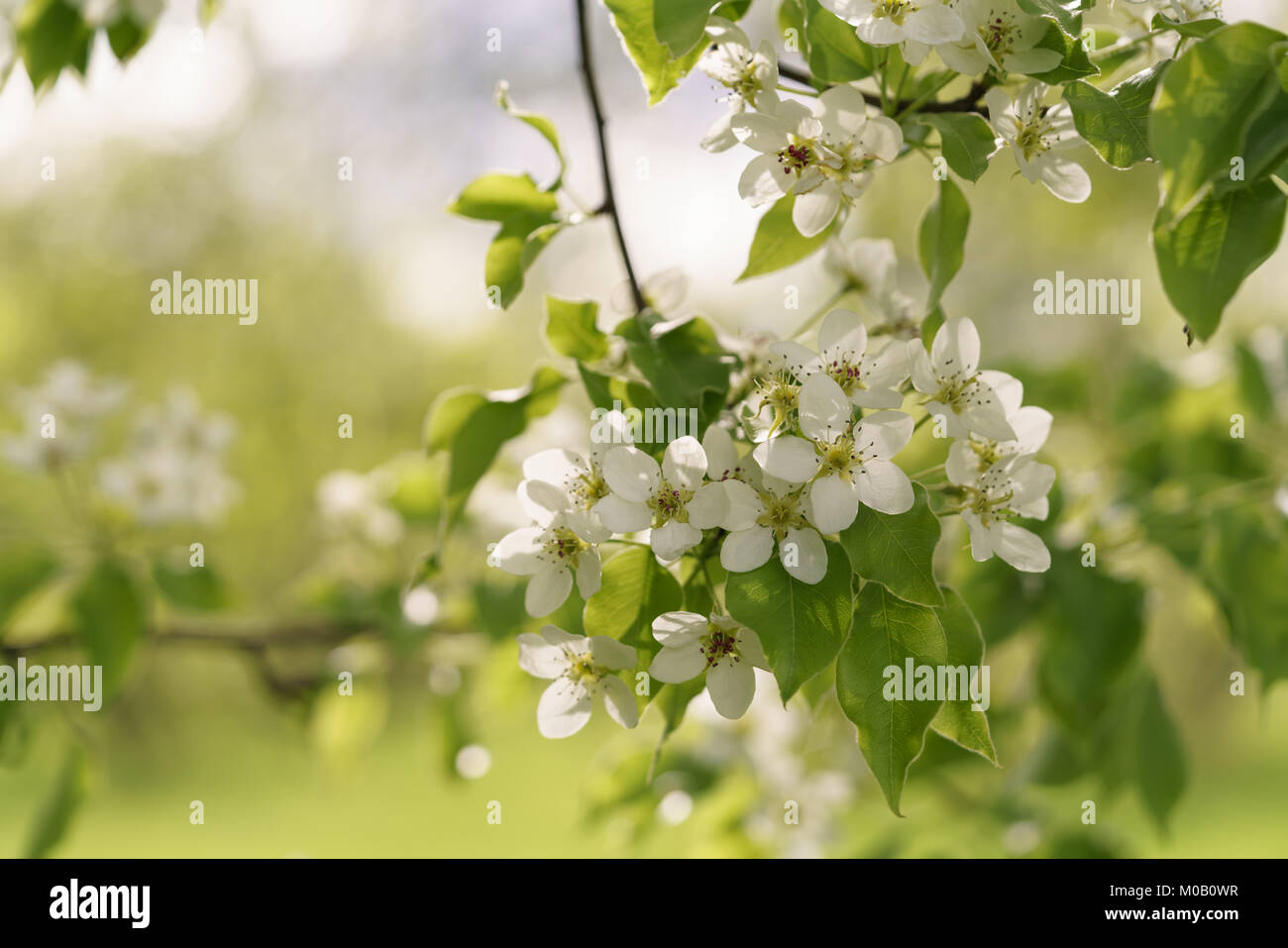 Closeup Of Blossoming Apple Tree With White Flowers In A Garden