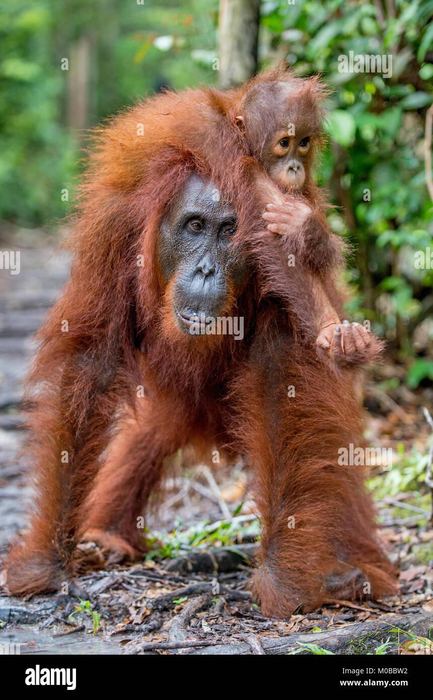 On a mum`s back. Cub of orangutan on mother's back in green rainforest. Natural habitat. Bornean orangutan (Pongo - Stock Image