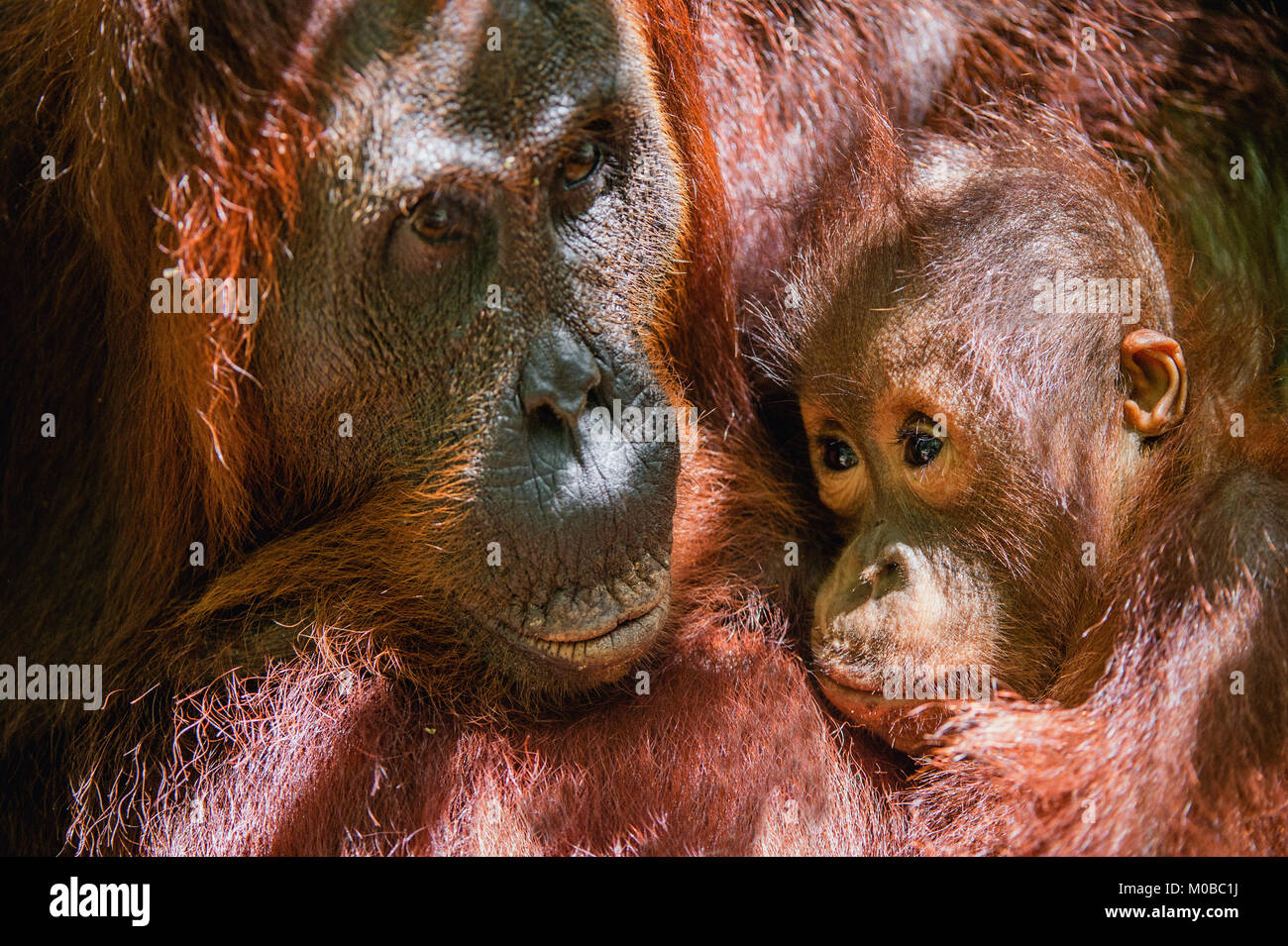 Cub sucking milk from orangutan mom. Mother orangutan and cub in a natural habitat. Bornean orangutan (Pongo pygmaeus Stock Photo