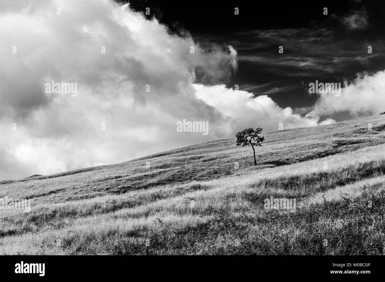 lone tree and white clouds, Indonesia - Stock Image
