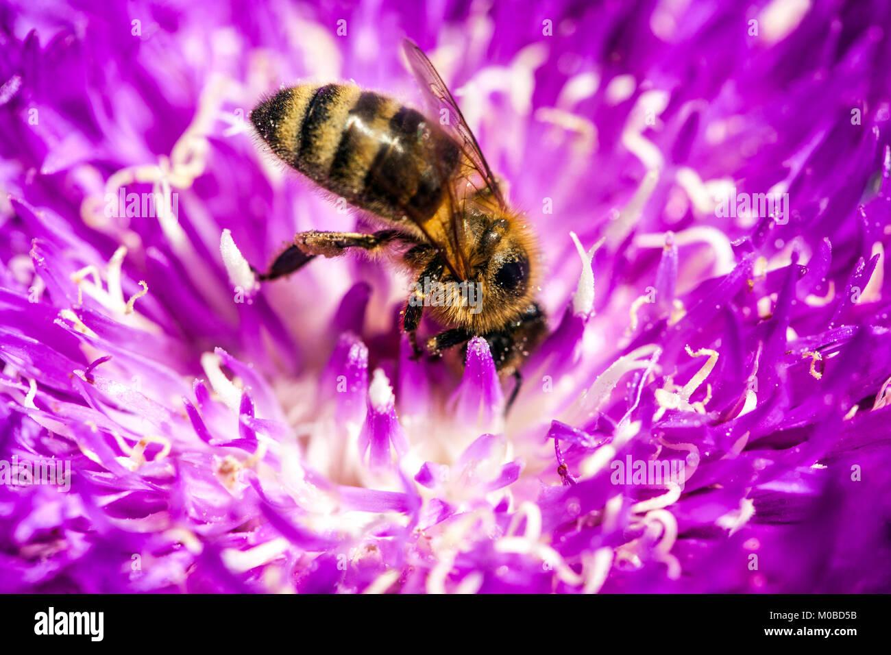 Stokesia laevis 'Honeysong Purple', close up bee on flower - Stock Image