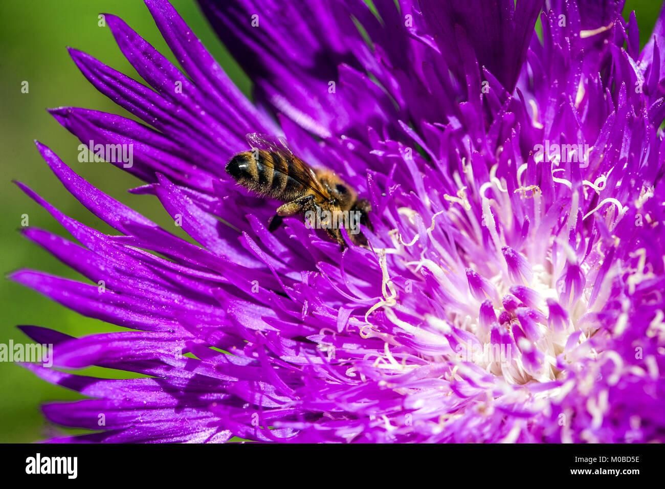 Stokesia laevis 'Honeysong Purple', close up bee - Stock Image