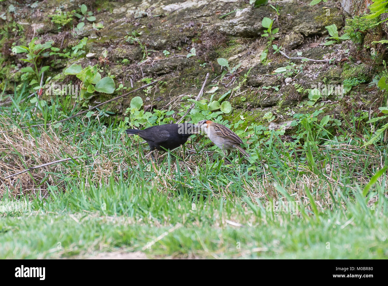 The rufous collared sparrow feeding the shiny cowbird on the ground Stock Photo