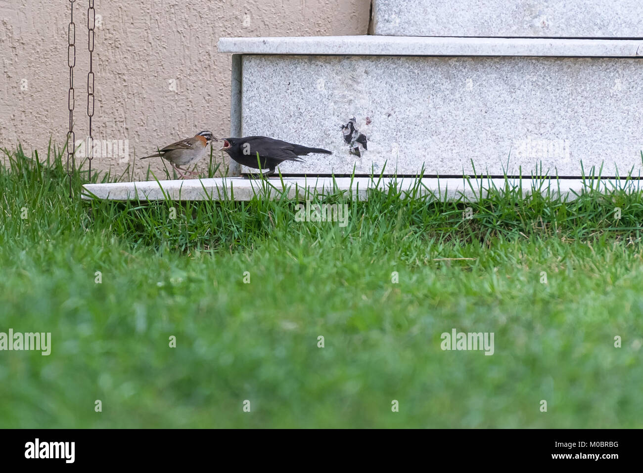 Little rufous collared sparrow feeding a shiny cowbird by the house Stock Photo